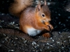 Danielle_Connor_ Red Squirrel at sunset
