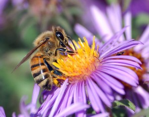 800px-European_honey_bee_extracts_nectar